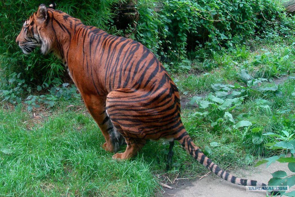 A tiger's dick