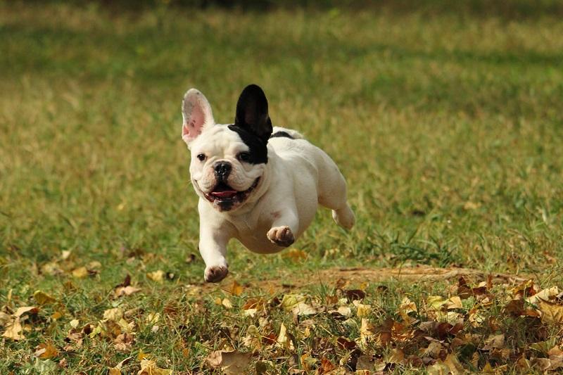 и фото названия собаки фото французские