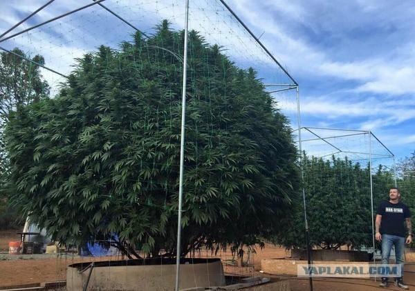 Самое большое дерево марихуаны земля для рассады марихуаны