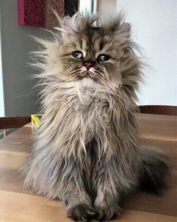 Funny Cat Bad Hair Day