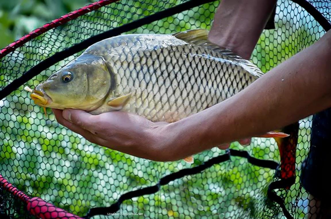 Сазан фото рыба речная