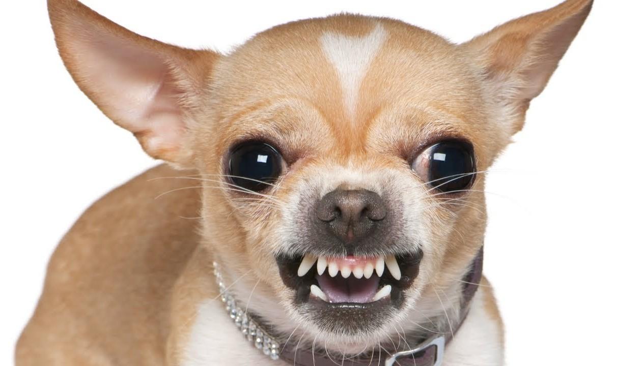 злая маленькая собачка картинки важно понимать