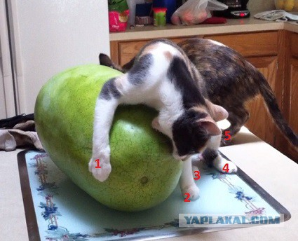 Едят ли коты арбуз