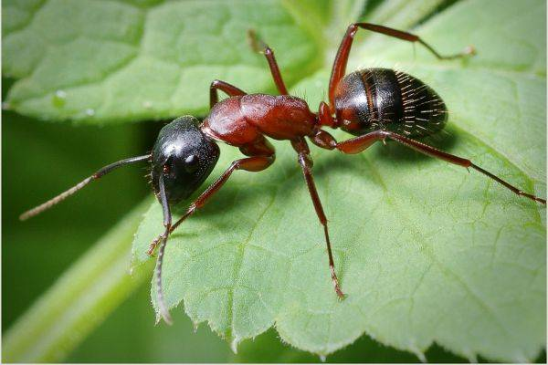 Картинки по запросу муравей