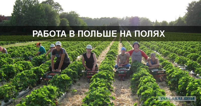 Картинки по запросу украинцы вкалывают на плантациях в Польше
