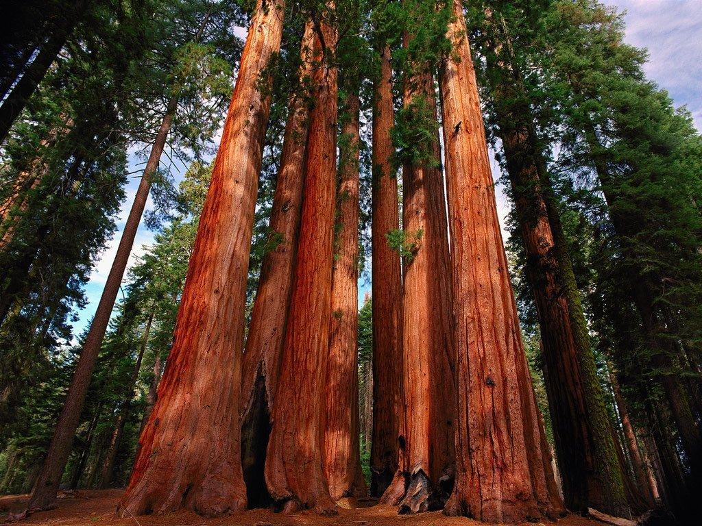 гигантские деревья фото том, что ныне
