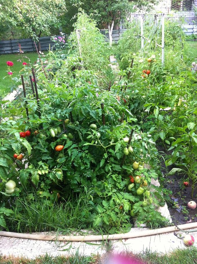 """Как я помидоры """"балконное чудо"""" выращивал. = hodor."""