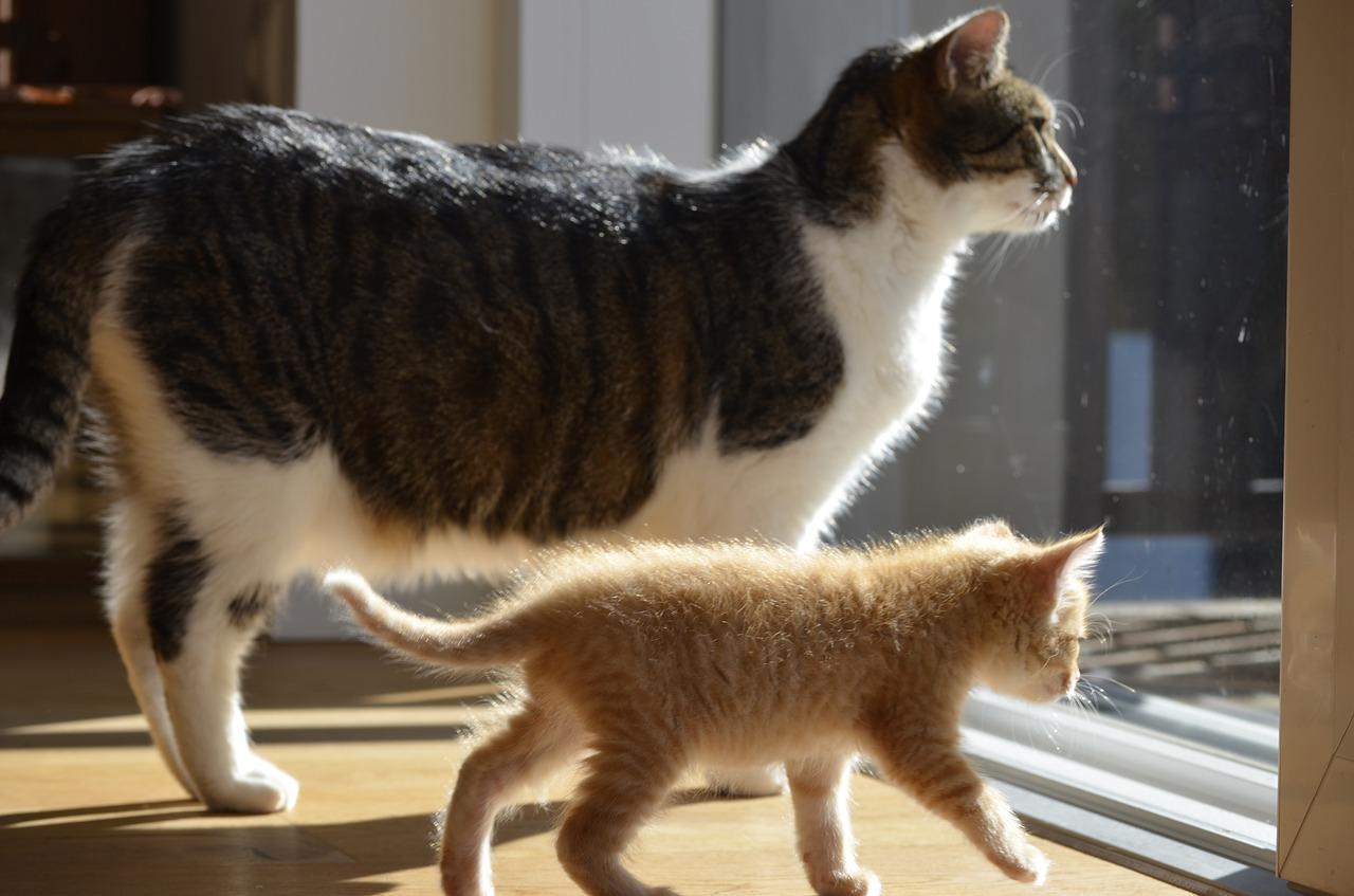 кошку знакомить новым как взрослую котёнком с