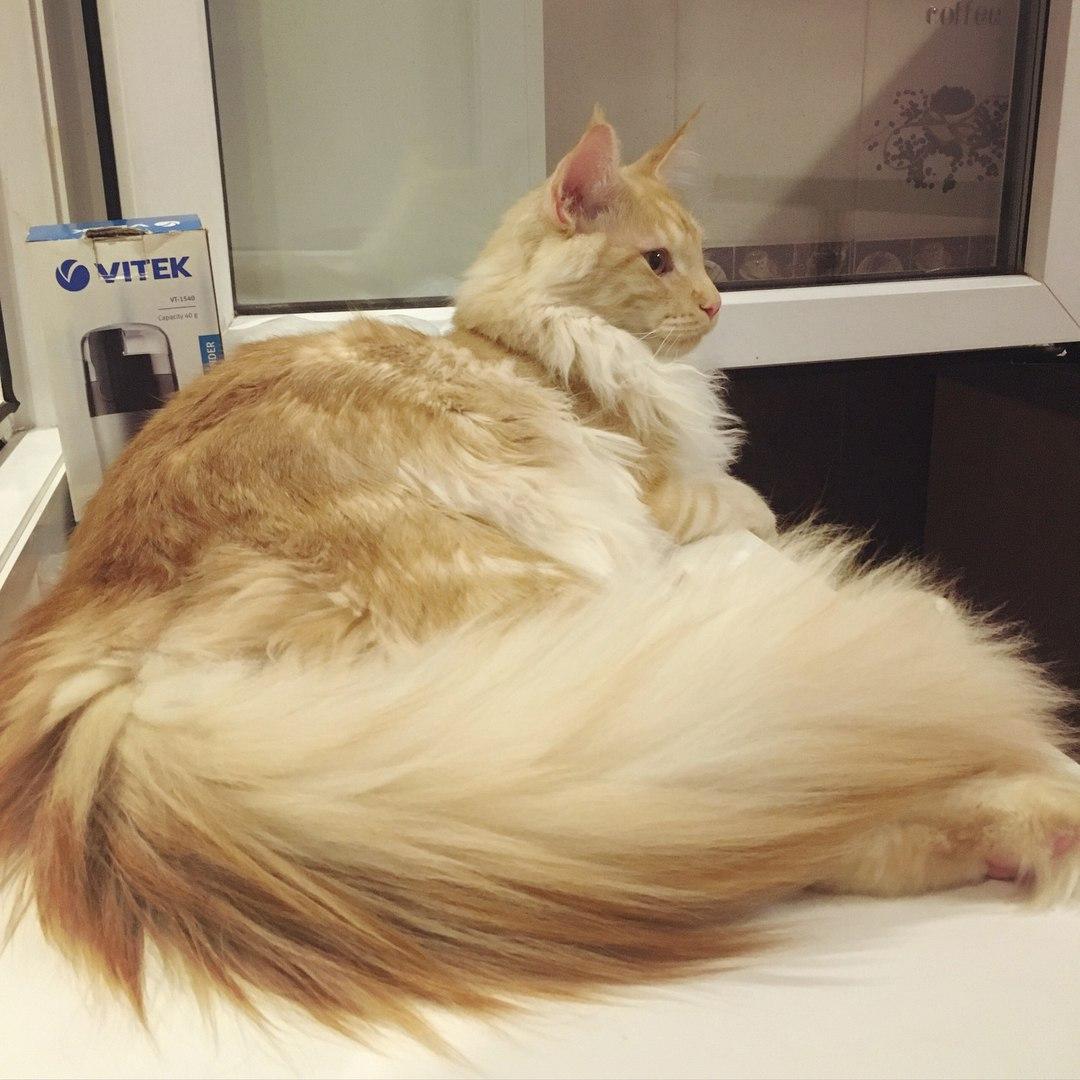 Кот хвост как у белки