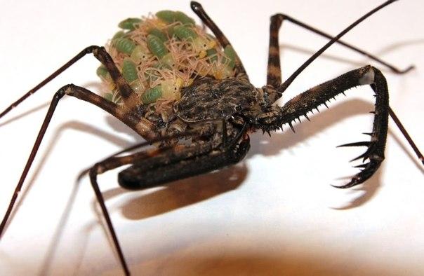 Фрины - уникальные паукообразные.