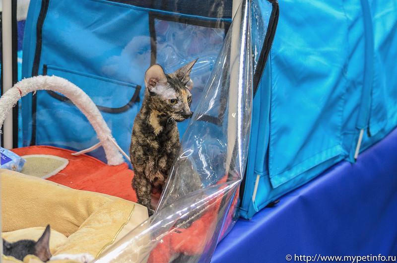 Питомник кошек Мейн Кун Almazcoon Купить Мейн куна в