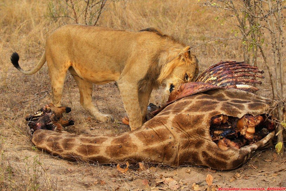 Лев жистоко трахает львицу фото 698-558