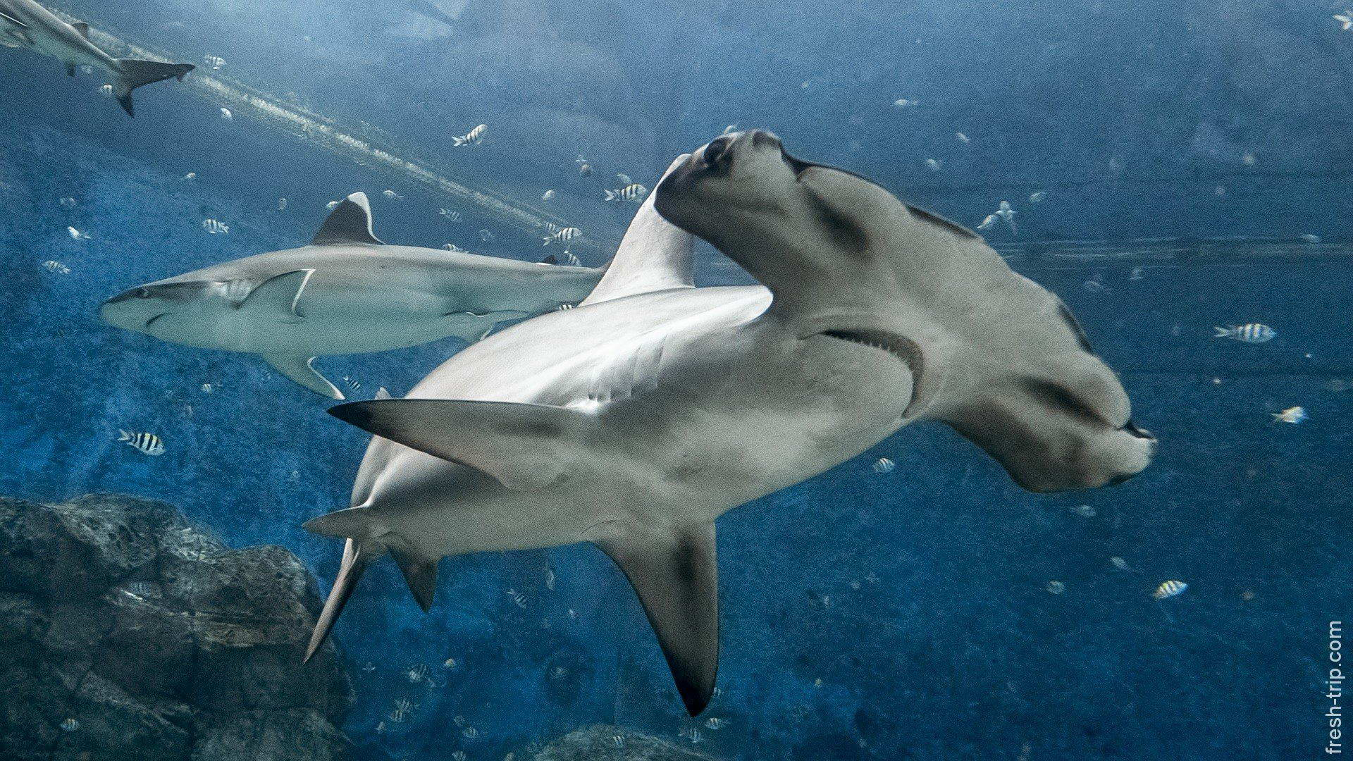 было картинки акулы молот охотничье