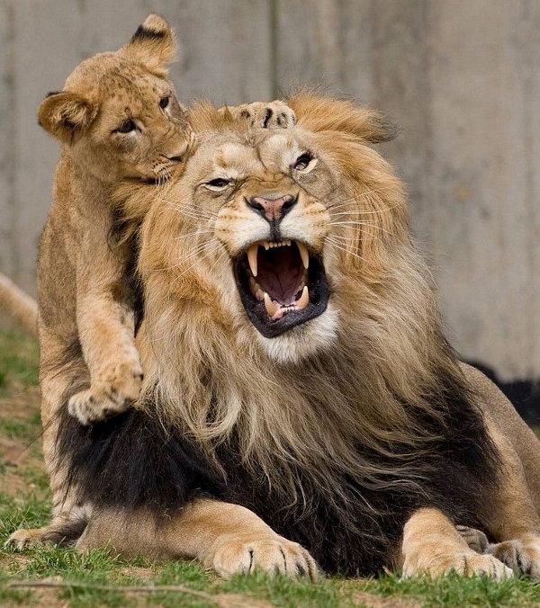 Львы смешные картинки с надписями, гвоздиками салфеток
