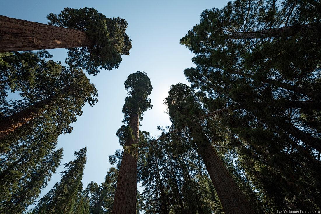 картинки высота дерева браке