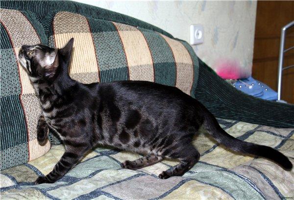 бенгальская кошка черная фото