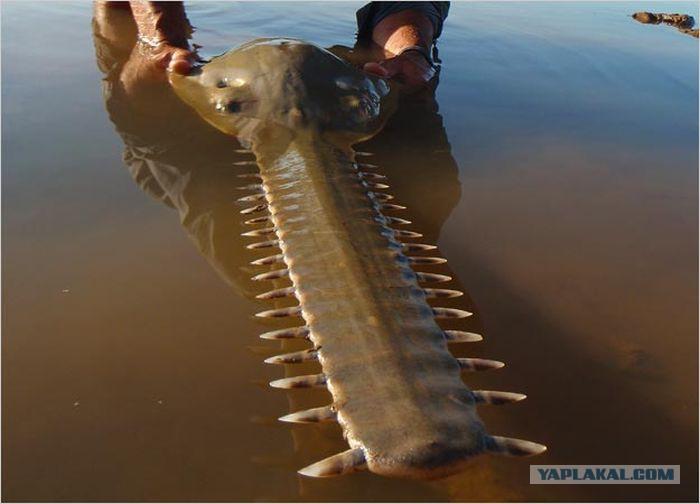 фото рыба змееголов