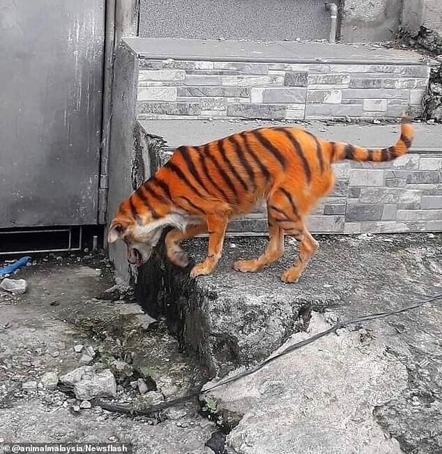 Защитники животных в ярости: кто-то раскрасил бездомного пса под тигра