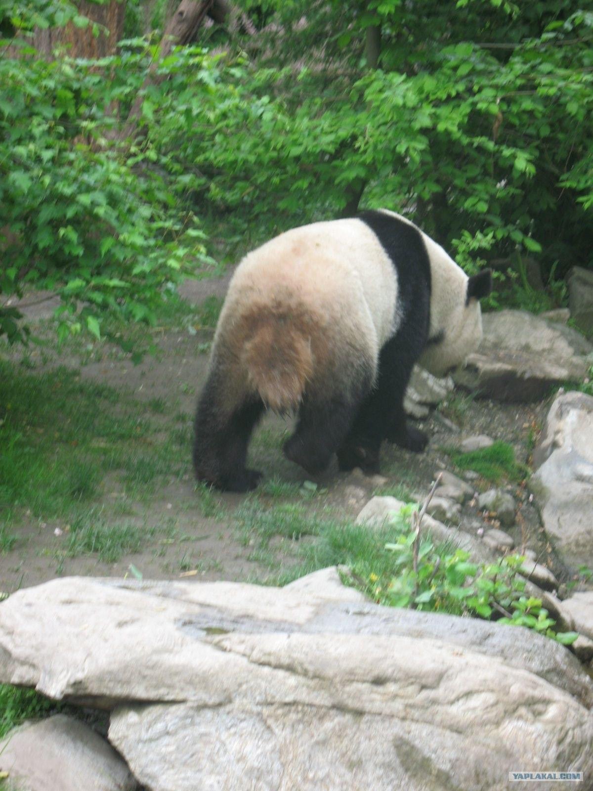 Хуй панда
