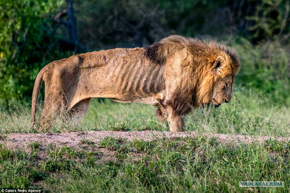Лев хоть царь зверей но его пиздили тоже
