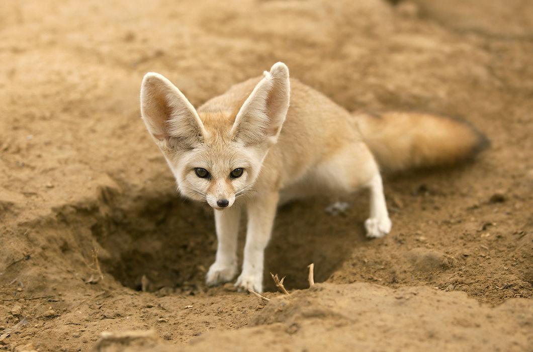 картинки пустынных лисичек имени боткина