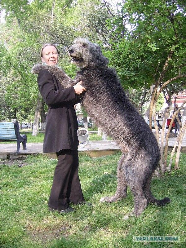 фото ирландская овчарка