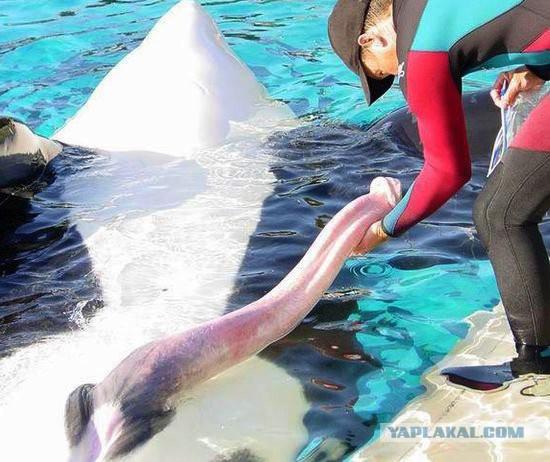 Половой член у кита полосатика