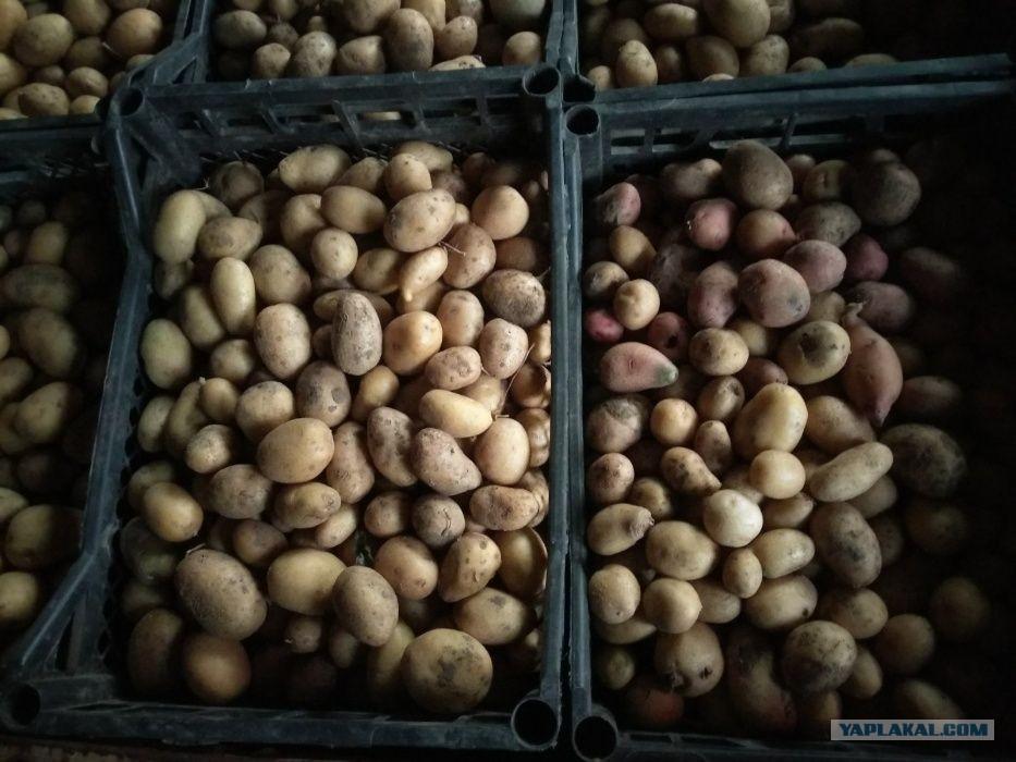 Производители предложили сетям пустить в продажу картофель «экономкласса» ←  Hodor