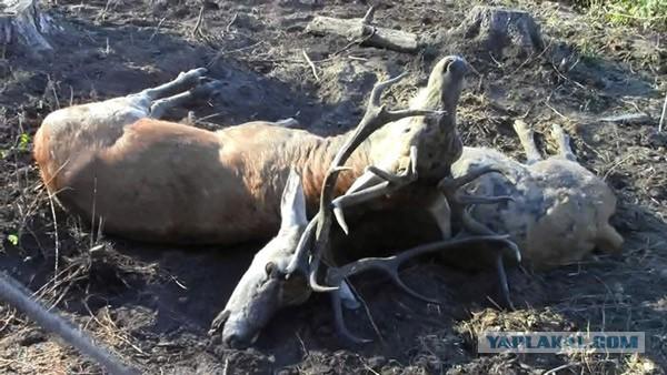Техасский охотник подстрелил оленя, бегающего на оголенных костях