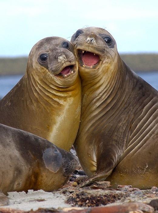 Картинка высунутый, картинки тюлень смешной