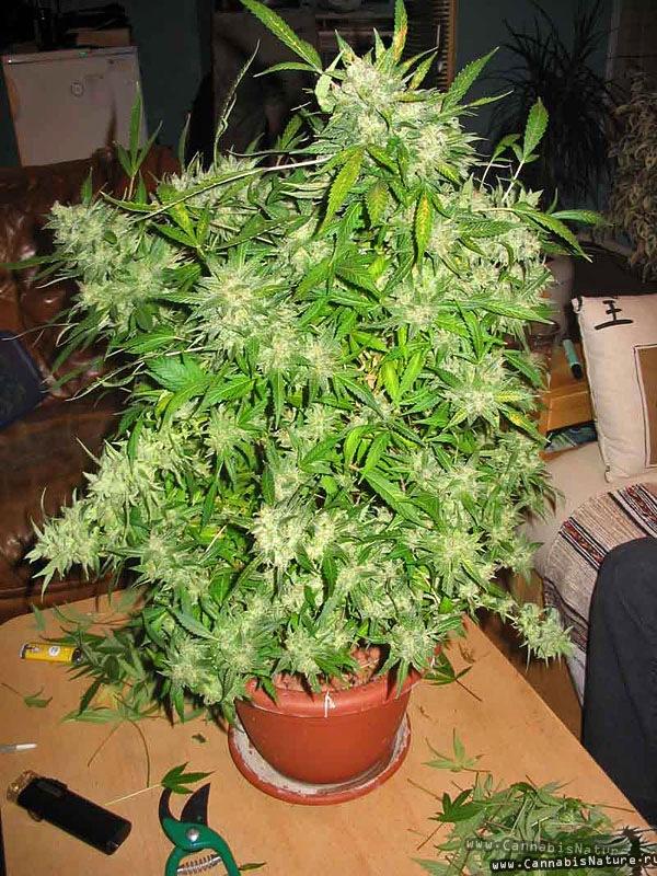 Выход с куста конопли скачать обои на рабочий стол бесплатно марихуана
