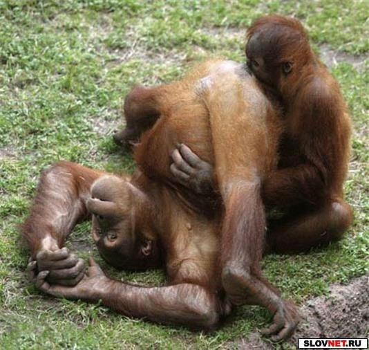 Оральный сексу обезьян видео онлайн