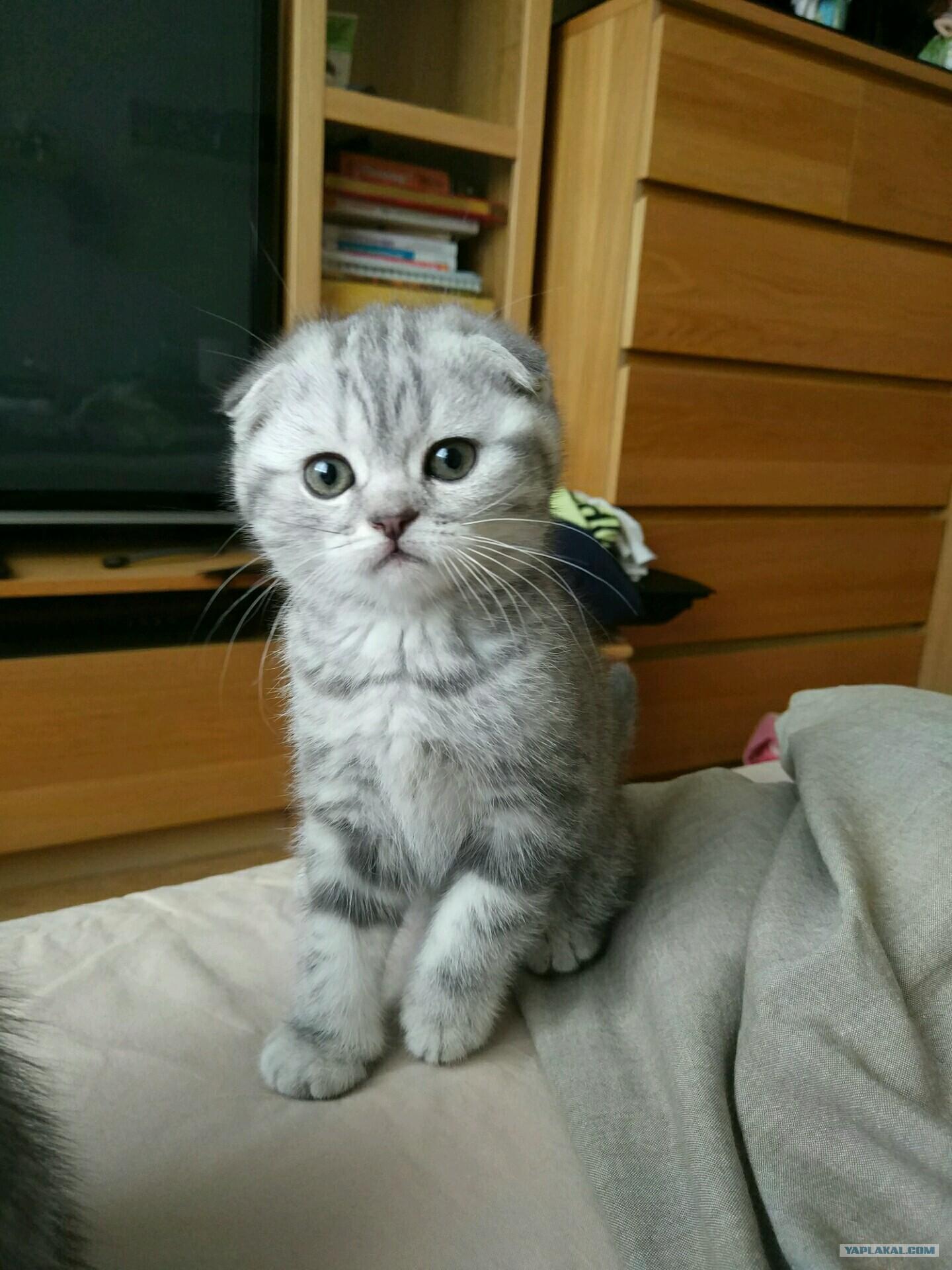 котята шотландские вислоухие картинки