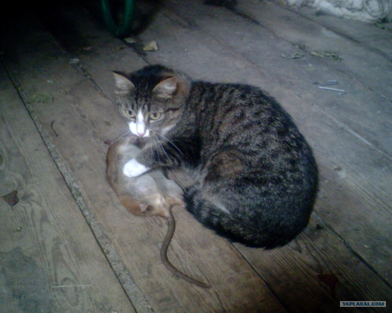 Фото кот ест мышей