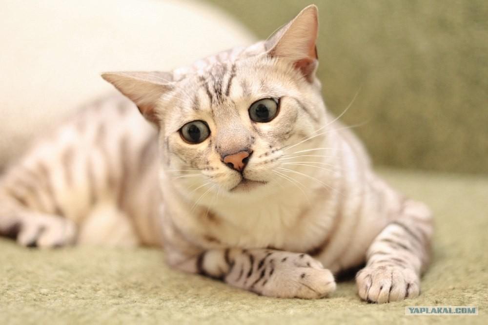 Снежный бенгальский кот фото