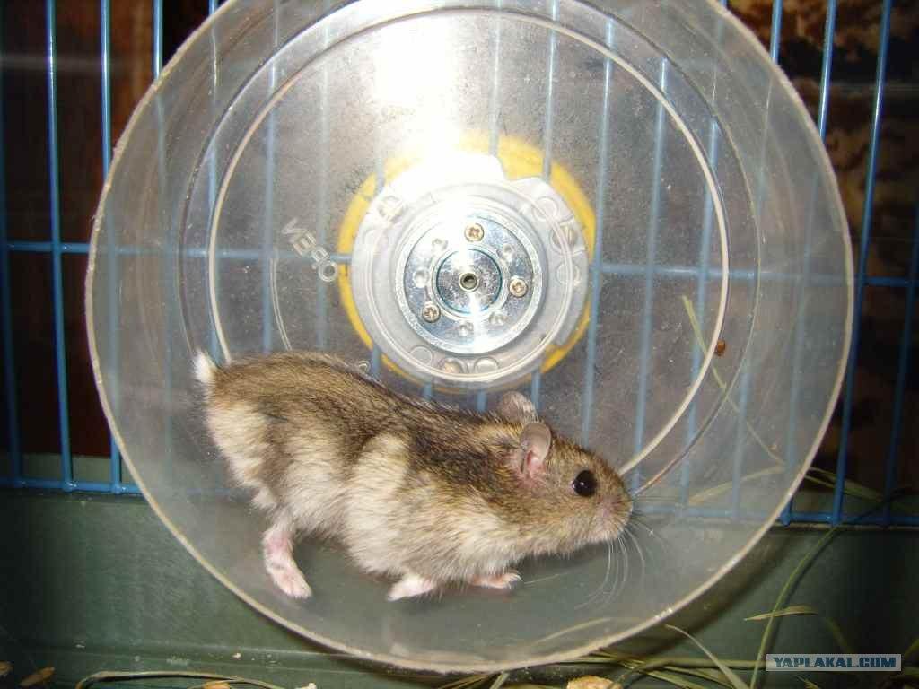 Как сделать колесо для хомяка