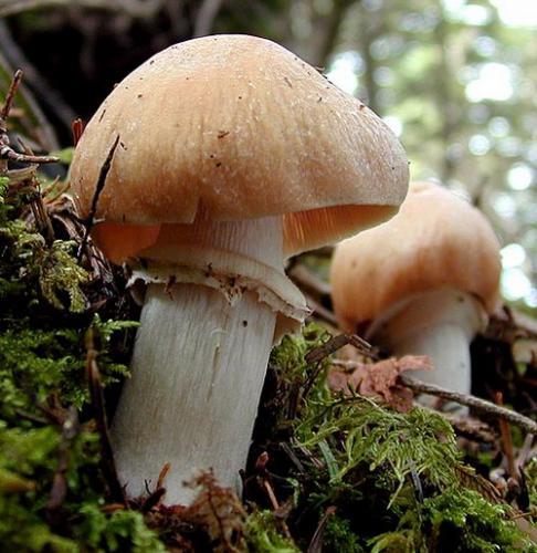 колпачки грибы фото