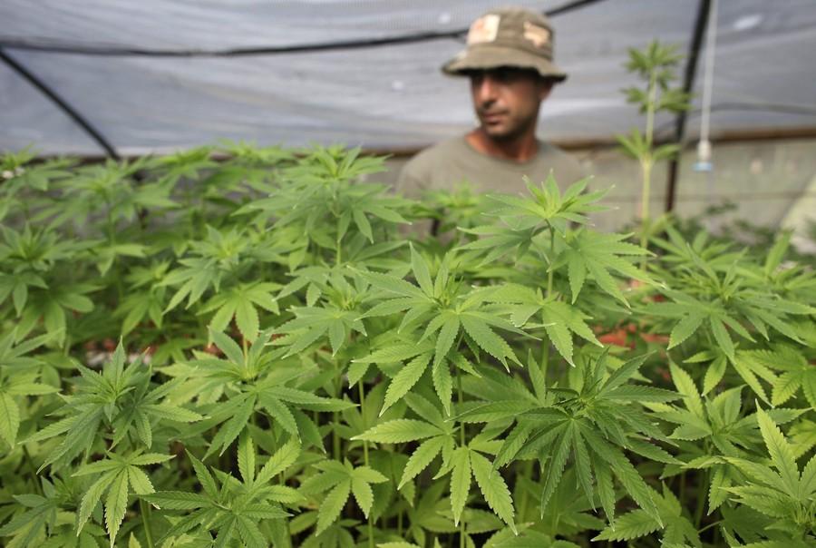 Конопля и марихуана это одно и то же показания для лечебной марихуаны