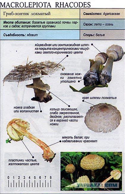 Шкатулки открыток, зонтичные грибы в картинках ядовитые и съедобные