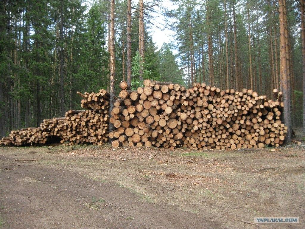 лес делянка фото штабелей нетерпением ждут каждый