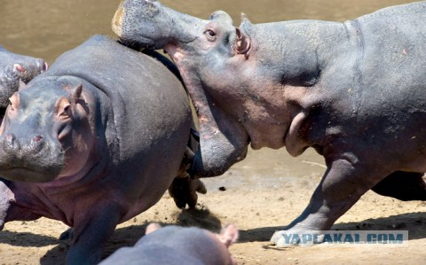 Носорог секс сос бегемотам