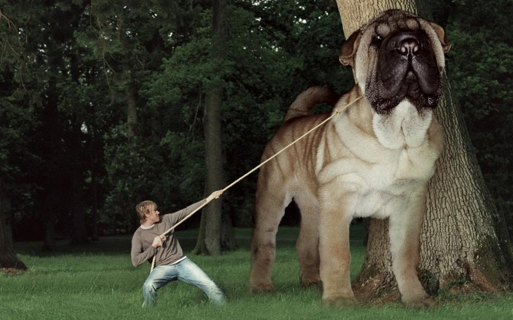 покажите самую большую собаку в мире картинки рулевой