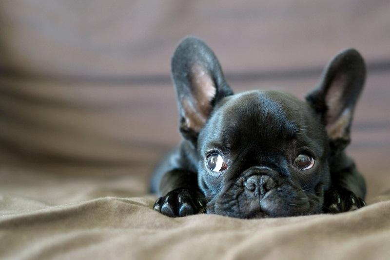 Порода собак французский бульдог - Hodor