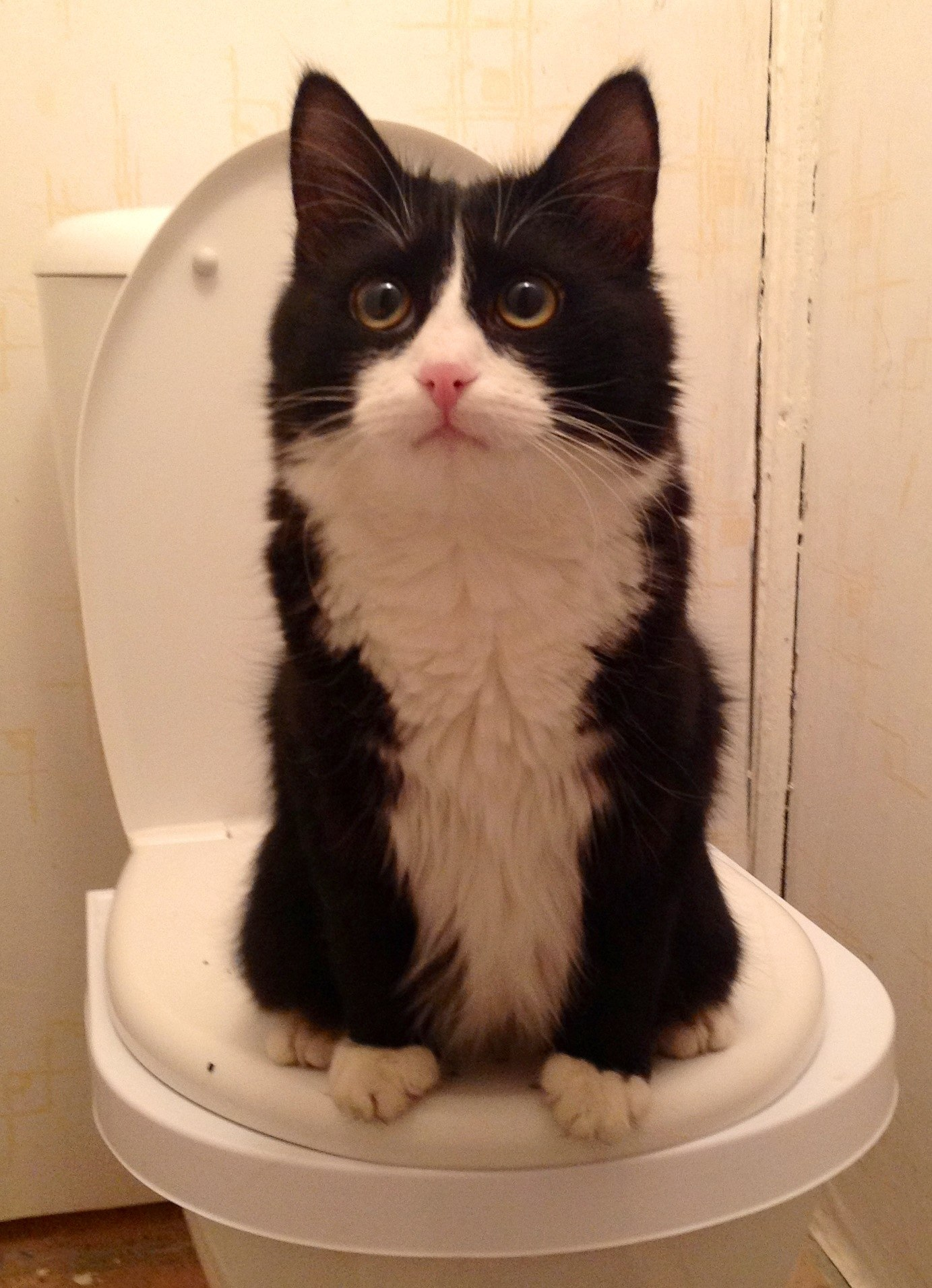Кот и унитаз прикол