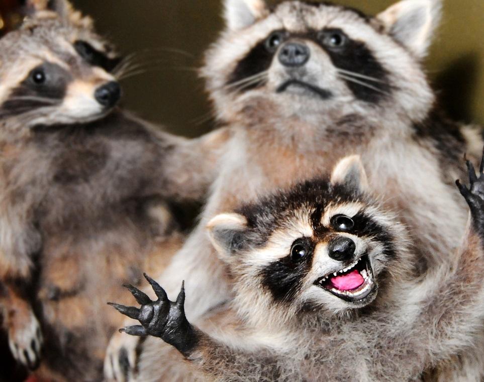 растет прикольные картинки животных енотов животного