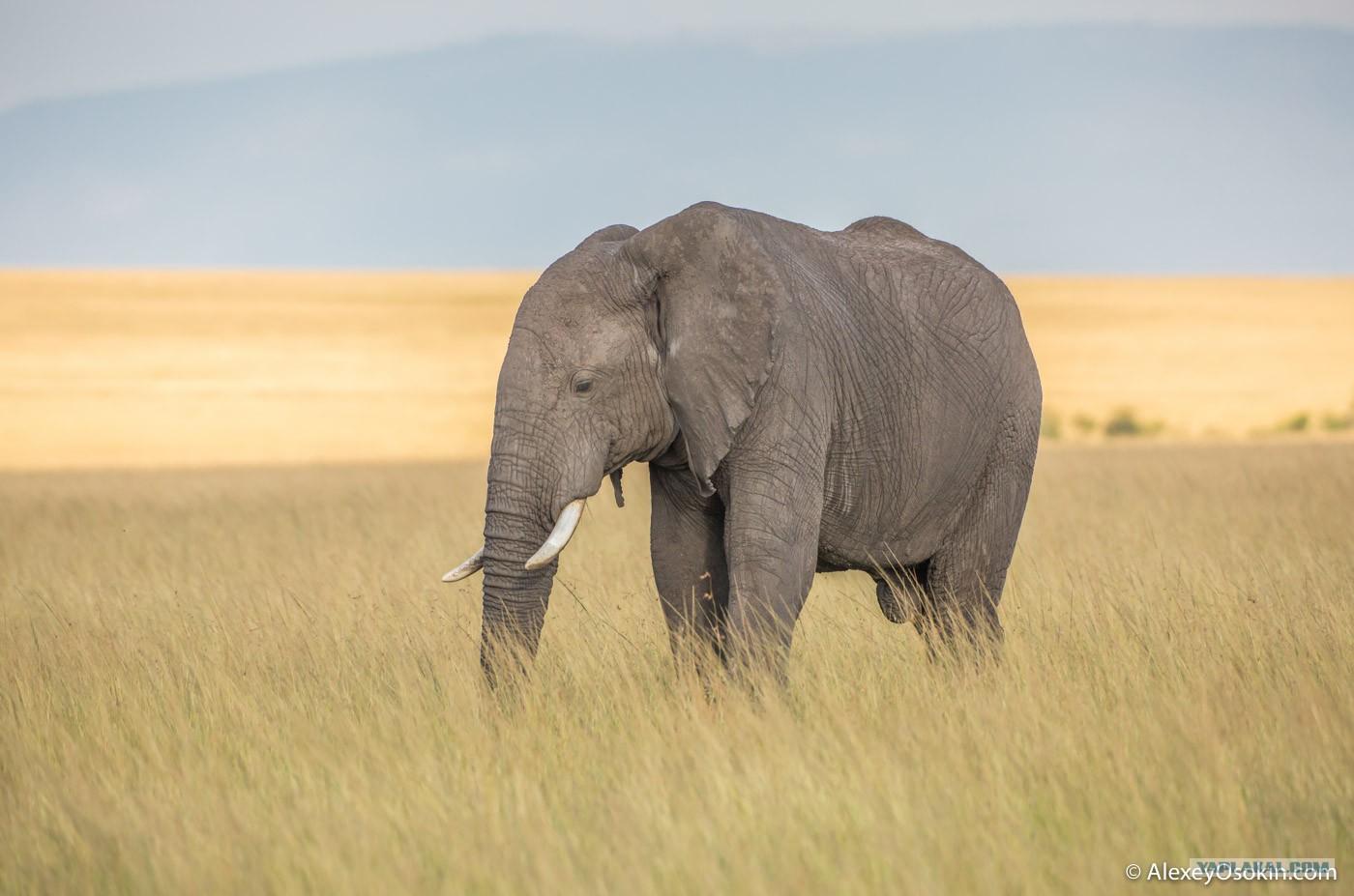 Самые большие пенисы ых : Инфониак Африканский слон