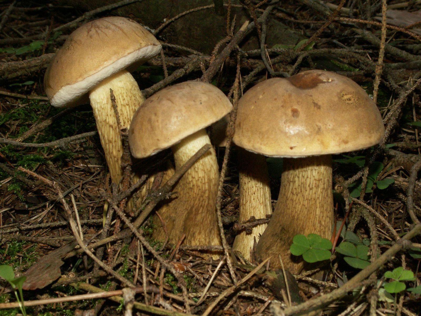 белые грибы снятся к ложные чему