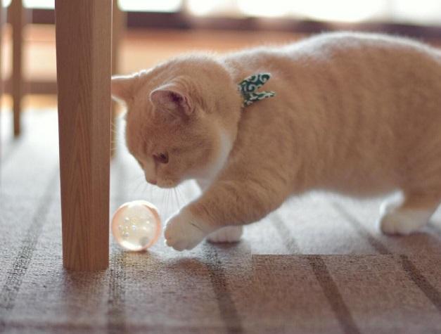 Если вы мечтали, чтобы котенок никогда не вырастал, манчкины — для вас