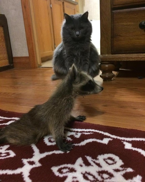 Спасенный некогда кот и поросята помогают выхаживать покалеченного енота-сироту