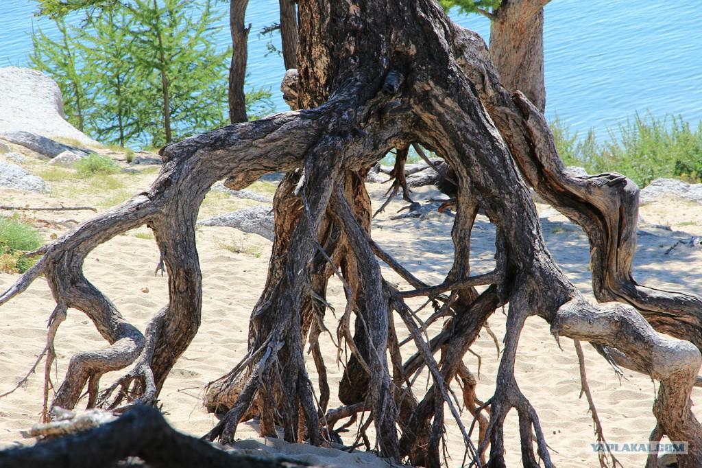 Дерево на байкале картинки